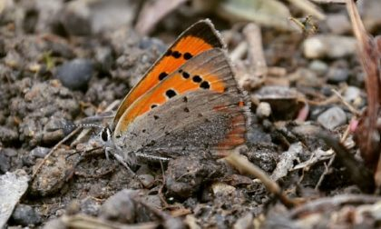 Lasciate il romice nei vostri giardini: le farfalle vi faranno visita
