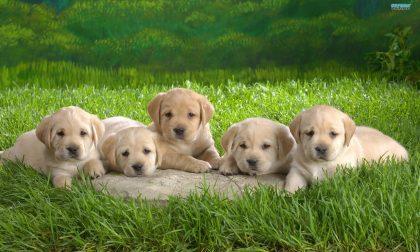 La cucciolata ad Ardesio e i tanti dubbi sulle adozioni di cani in tempi di Coronavirus