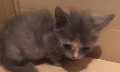 Gattini abbandonati (uno in un cartone della pizza): due salvataggi in poche ore