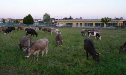 Risparmiare sulla manutenzione del verde? A Cavernago l'erba la tagliano… le mucche
