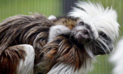 Parco Le Cornelle, una baby Tamarino e quattro nuove pinguine per salutare l'estate