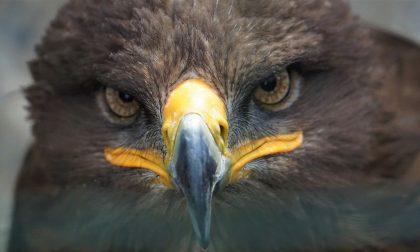 Aquila impigliata in una rete liberata in Val Gandino: il video