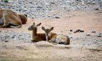Al Parco Le Cornelle sono nati due piccoli di antilope africana