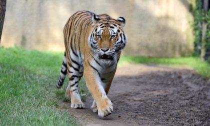 Gnu e tigri dell'Amur: nuovi arrivi al Parco Le Cornelle