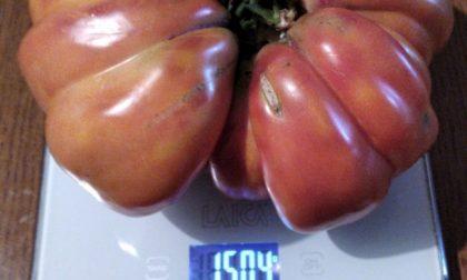 Sul Sebino è stato raccolto un pomodoro… da record: un cuore di bue da un chilo e mezzo