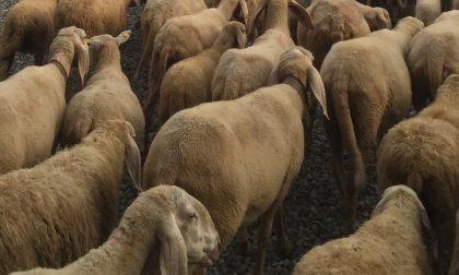 Spaventate dal temporale, ottanta pecore muoiono a Branzi in un dirupo