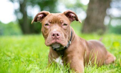 Un pitbull azzanna il suo cane (senza guinzaglio) e lui lo uccide a coltellate