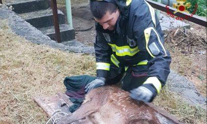 Cucciolo di cervo cade in un canale a Zogno, lo salvano i Vigili del Fuoco