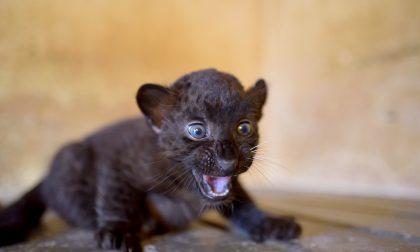 Fiocco rosa alle Cornelle: nata una cucciola di pantera nera