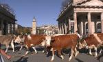 Mucche in centro città, ma stavolta senza campanacci: è il lutto dei bergamini