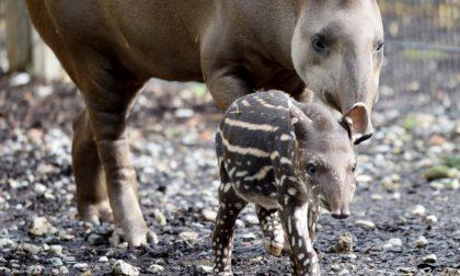 Nuovi cuccioli di tapiro e alpaca a Le Cornelle (e i nomi li decide il pubblico)