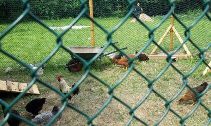 Dopo il furto scatta la gara di solidarietà: in dono a Federico ben cinquanta galline