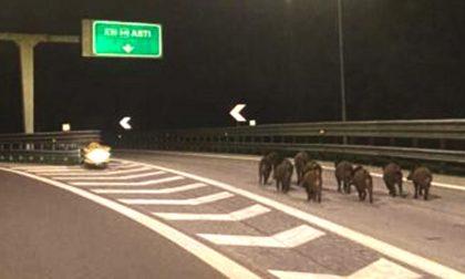 La foto del branco di cinghiali a spasso in autostrada... che rischio!