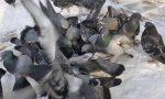 Da Scanzo a Seriate per dare da mangiare ai piccioni: 500 euro di multa a una donna