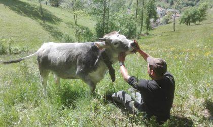 Francesco, l'addio alla fabbrica e il podere del nonno: «Allevo pecore e mucche. Sono felice»