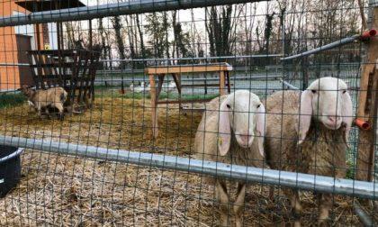 Rubate due pecore dalla fattoria didattica di Castel Cerreto