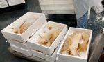 Dogana di Bergamo, fermate 11 tonnellate di calamari al cadmio