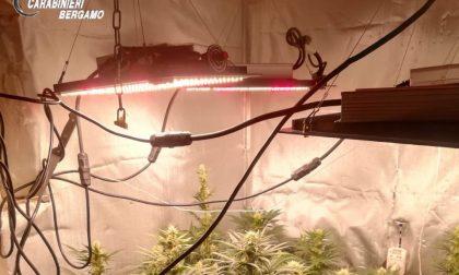 Serra di marijuana nascosta in casa a Parre: arrestato un operaio 47enne italo-svizzero