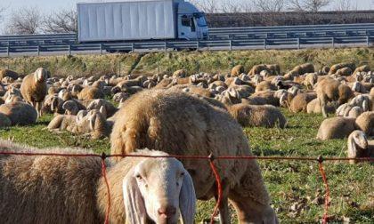 """Le foto delle mille pecore che hanno """"invaso"""" Treviglio"""