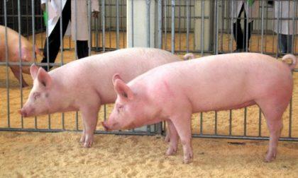 Covid-19, la Cina non vuole più i maiali italiani (e per la Bassa è un grosso problema)
