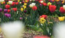 Tra poco qui sarà tutta campagna (olandese): la moda dei tulipani