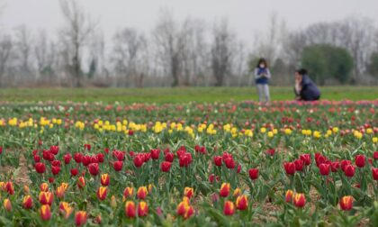 Sono fioriti i tulipani: un mare di colori nelle Bergamasca