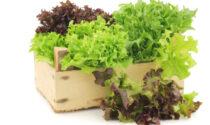 In regalo con il Prima Bergamo in edicola, questa settimana, i semi di lattuga