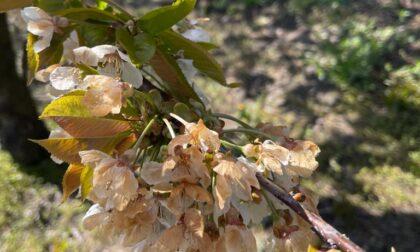 Gelo e siccità, Coldiretti lancia l'allarme: «A rischio i vigneti e gli alberi da frutto»
