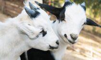 Violenza assurda a Spirano: ignoti rubano una pecora e bastonano a morte due capre