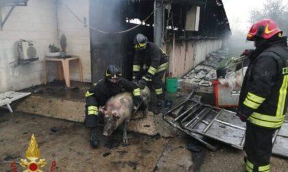 Incendio in stalla con 800 maiali, molti sono feriti o intossicati