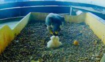 Falchi pellegrini al Pirellone: schiuse due uova. Fermi: «Un raggio di sole»