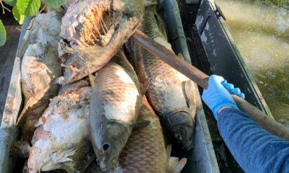 Oltre 900 chilogrammi di carpe morte sono state recuperate dai pescatori nell'Adda