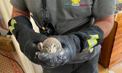 Civetta resta bloccata in una canna fumaria a Zogno, la salvano i vigili del fuoco