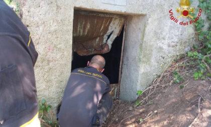 Volpe resta bloccata nel canale di una galleria a Trezzo: recuperata dai vigili del fuoco
