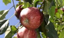 La difesa del melo: sabato 5 giugno lezioni (dal vivo finalmente) in Val Brembana