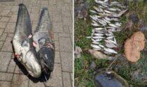 Nell'Adda è lotta al pesce siluro (che mangia una quantità impressionante di altri pesci)