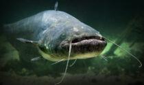 Lotta al pesce siluro (specie in aumento): nell'Adda catturati esemplari per 1.488 kg