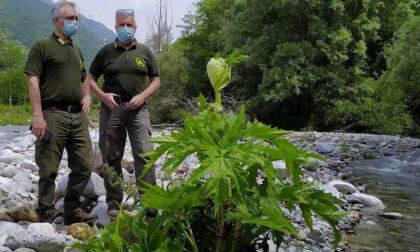 Allerta per il Panace di Mantegazza, pianta urticante che sta arrivando sulle Orobie