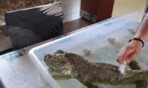 Goodzilla in fuga sulla ciclabile della Val Seriana: cercasi iguana fra Nembro e Pradalunga