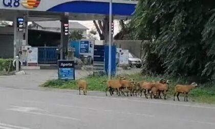 """Una dozzina di pecore del Camerun """"evade"""" dall'allevamento per brucare sulla Francesca"""