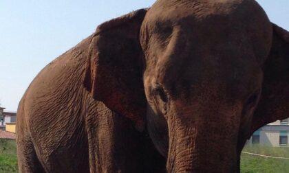 La Lav Bergamo attacca il circo Orfei per le condizioni dell'elefantessa Andra