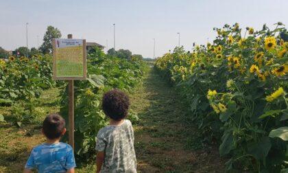 Aperto il campo di raccolta self di girasoli a Terno d'Isola: è il primo in Italia (poi le zucche)