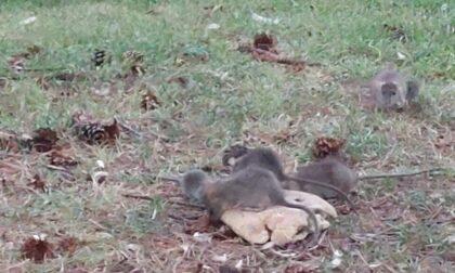 I video dell'invasione di topi nei giardini pubblici davanti alla stazione Teb di Albino