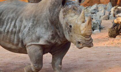 Alle Cornelle una giornata alla scoperta del rinoceronte bianco. E si attende la nuova tigre