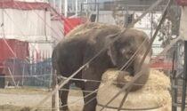 La Lav attacca il circo Orfei: «Si liberi l'elefantessa Andra». Appello al sindaco di Azzano