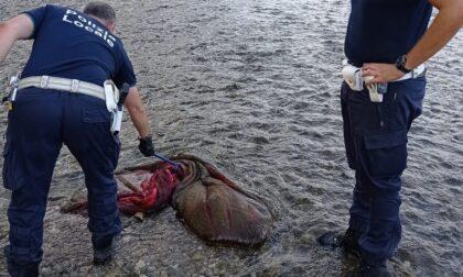 «C'è un cadavere nel Serio»: allarme a Mozzanica, ma per fortuna nessun morto