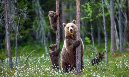 Dalla Valtellina a Foppolo per mangiare dei mirtilli: la curiosa trasferta di un orso