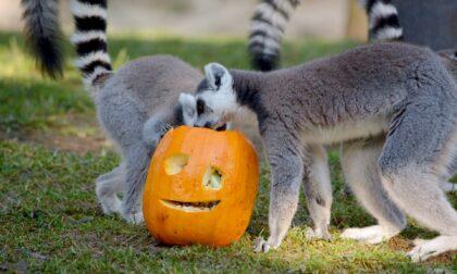 Dolcetto o scherzetto? Anche al Parco Faunistico Le Cornelle si festeggia Halloween