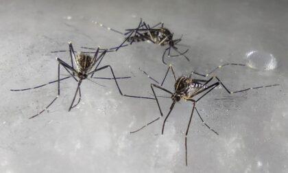 La zanzara coreana che resiste al freddo è arrivata a Bergamo (in aereo)