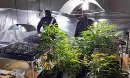 «Siamo giardinieri», dicono ai carabinieri. Ma in casa avevano un'enorme piantagione di marijuana